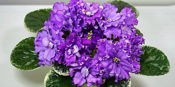Комнатный цветок фиалка уход и выращивание