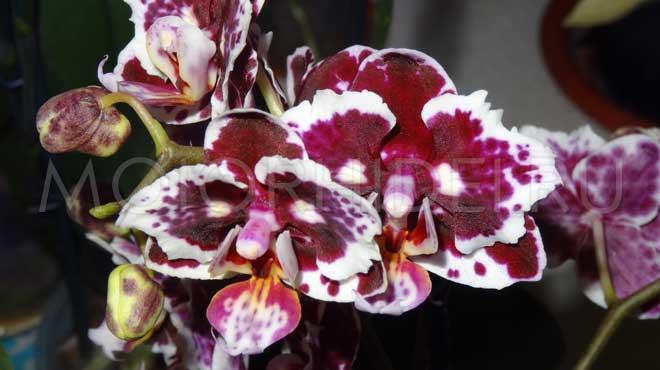 Bona forte для орхидей