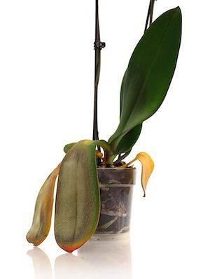 Погибает орхидея сгнили корни листья вялые