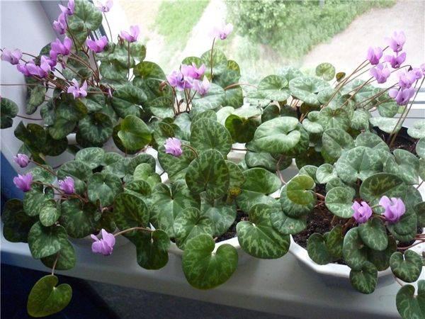 Цикламен размножение семенами