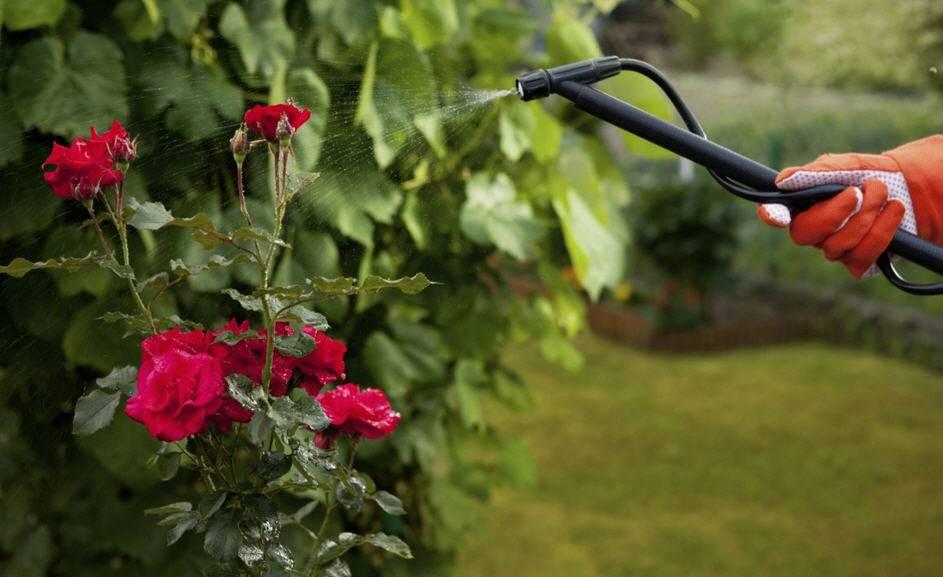 Когда цветут розы