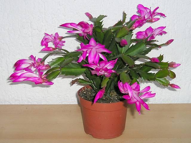 Как поливать цветок декабрист в домашних условиях? 134