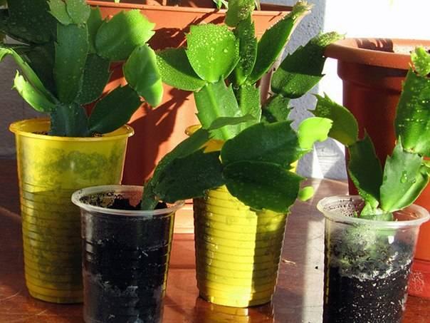 Как поливать цветок декабрист в домашних условиях? 103