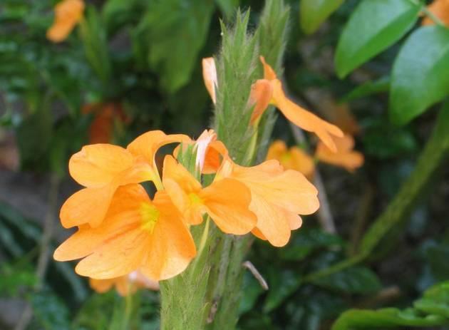 Кроссандра цветок комнатный