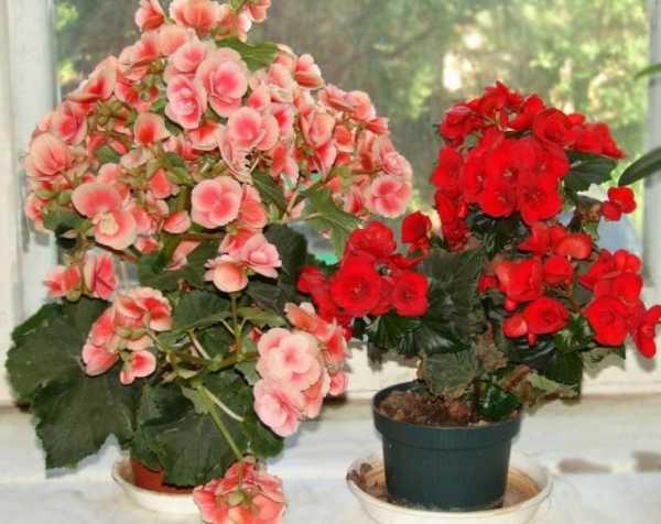 Цветок бегония как ухаживать в домашних условиях