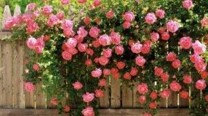 На розе белый налет на листьях