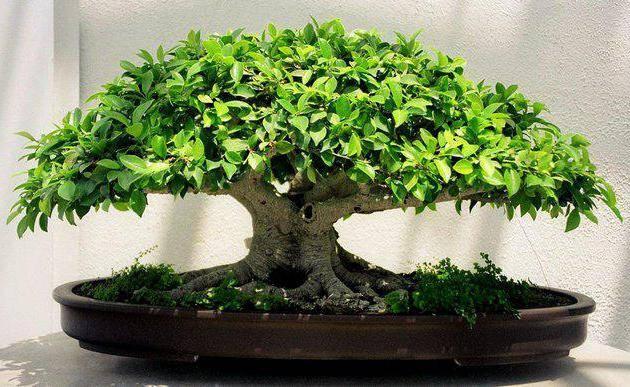 Японские карликовые деревья