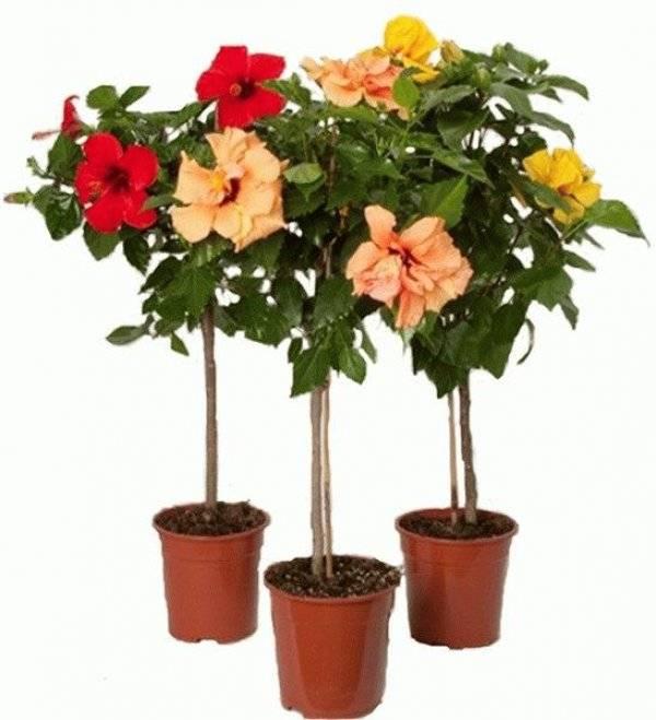 Как заставить розу цвести