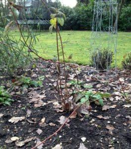 Жасмин кустарник посадка и уход размножение