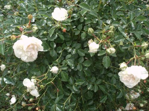 Свони роза