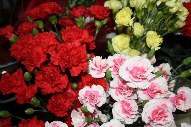 Диантус цветок уход в домашних условиях 43