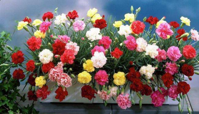 Диантус цветок уход в домашних условиях 155