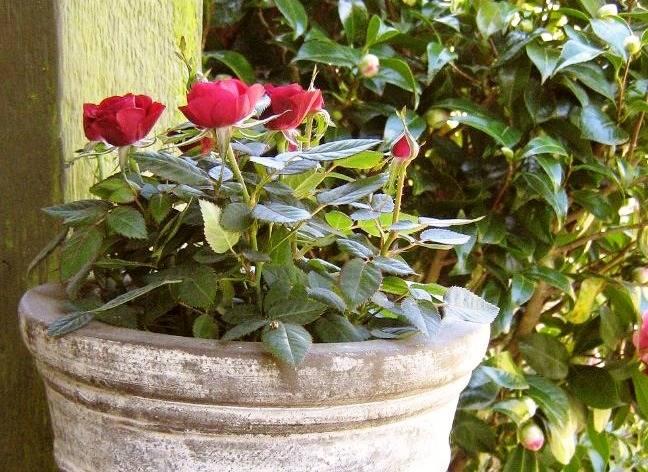 Выращивание роз из семян в домашних условиях