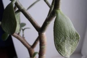 Желтеют листья у денежного дерева что делать