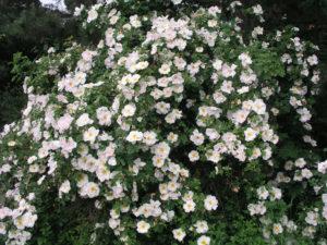 Канадские парковые розы сорта
