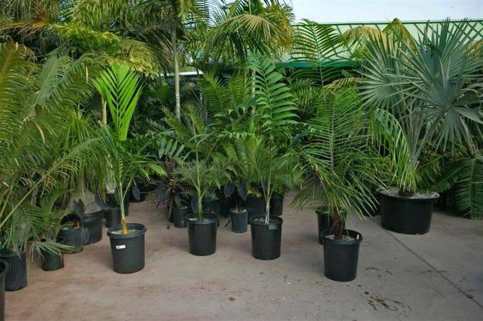 Как пересадить пальму