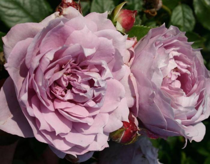 Роза раффлс флорибунда