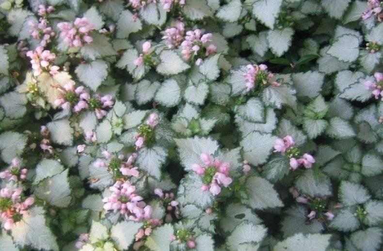 Цветы стелющиеся