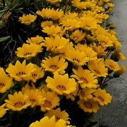 Газания цветок