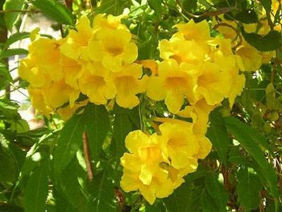 Кампсис цветок