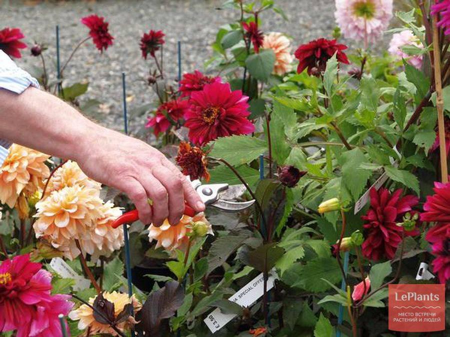 Уход за георгинами в саду