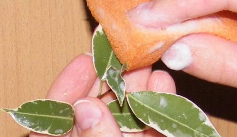Борьба со щитовкой на комнатных растениях