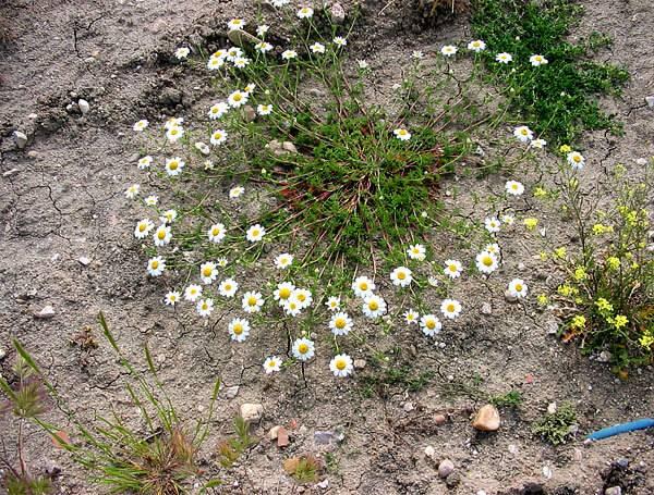 Разноцветные цветы похожие на ромашки