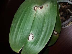 Обработка орхидей от вредителей