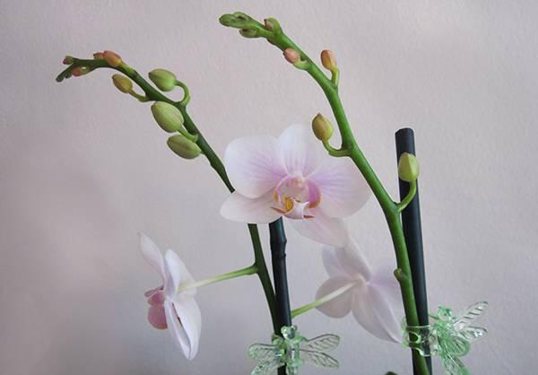 Как у орхидеи появляется цветонос