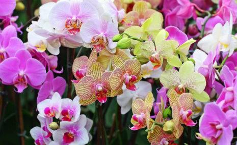 Размножение орхидеи цветоносом
