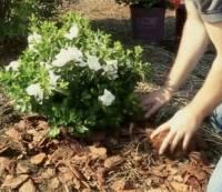 Рододендрон полезные свойства