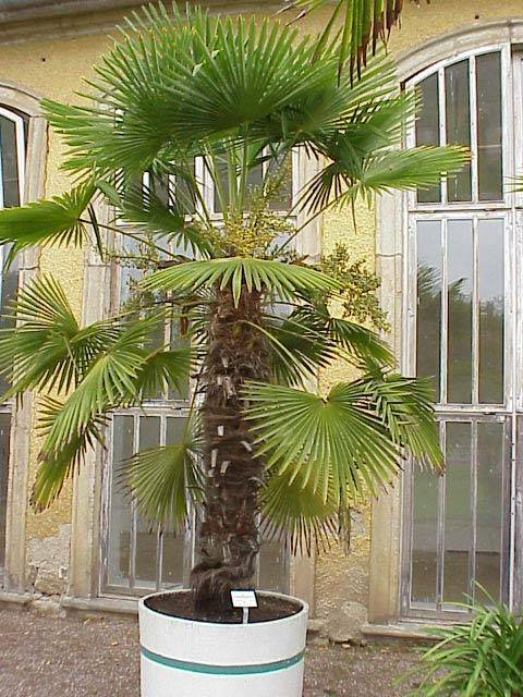 Домашний цветок пальма