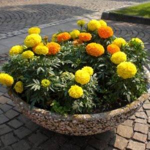 Многолетние засухоустойчивые цветы