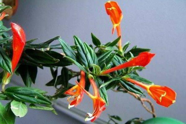 Комнатные цветущие цветы