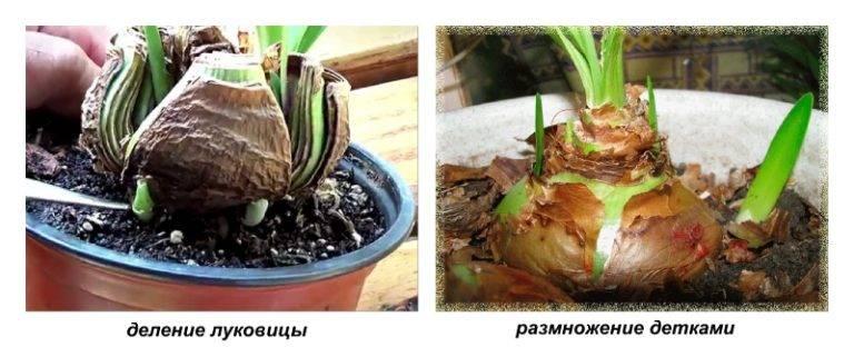 Гиппеаструм уход после цветения