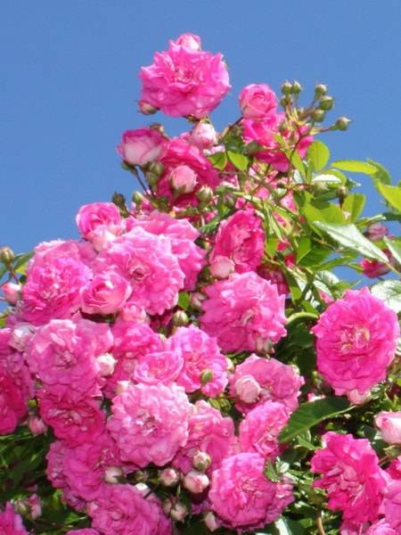 Роза почвопокровная белая