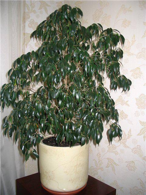 Как посадить отросток фикуса