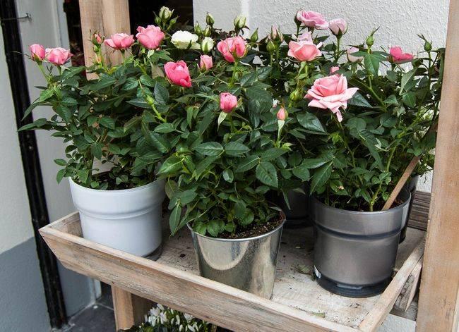 Роза 4 сезона почвопокровная