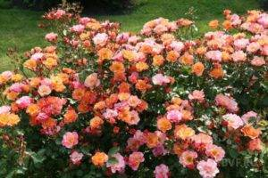 Розы спрей что это такое