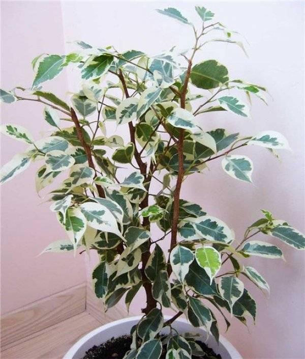 Фикус бенджамина с белыми листьями