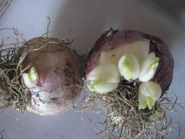 Гиацинты выращивание и уход