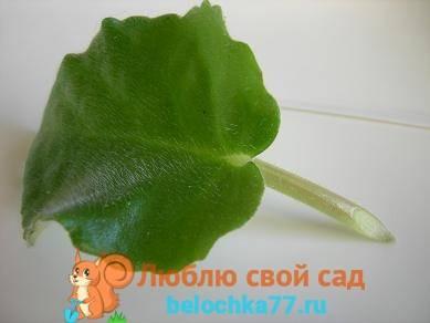 Фиалка из листа выращивание
