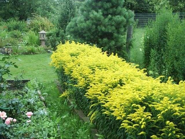 Многолетние желтые цветы