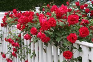 Розы плетистые красные
