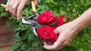 Комплексное удобрение для роз