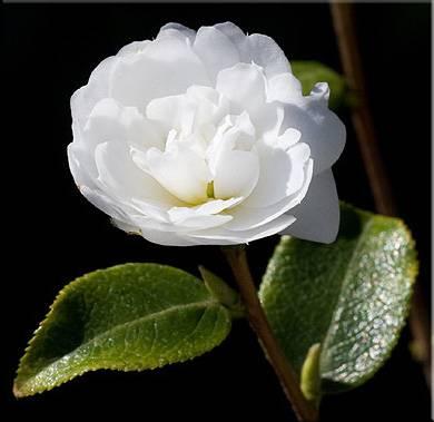 Амелия цветок