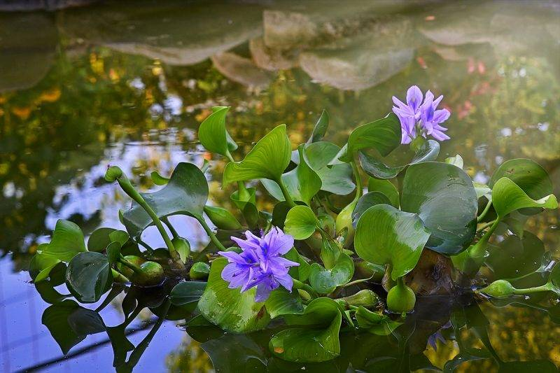 Водный гиацинт эйхорния