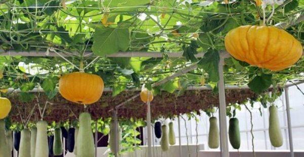 Декоративные тыквы хорошо разрастутся, если высадить рассаду в хорошо прогретую землю