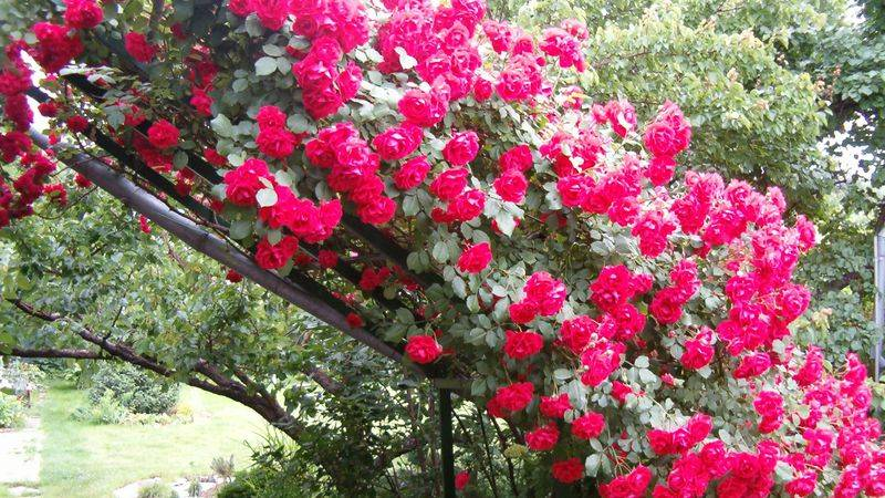 Подпорка для плетистой розы