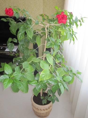 Дерево роза комнатная